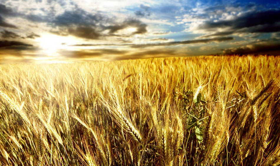 Newly-Decoded Wheat Genome Opens the Door to Engineering Superfoods